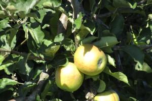 Produkcja jabłek w zakolu Wisły