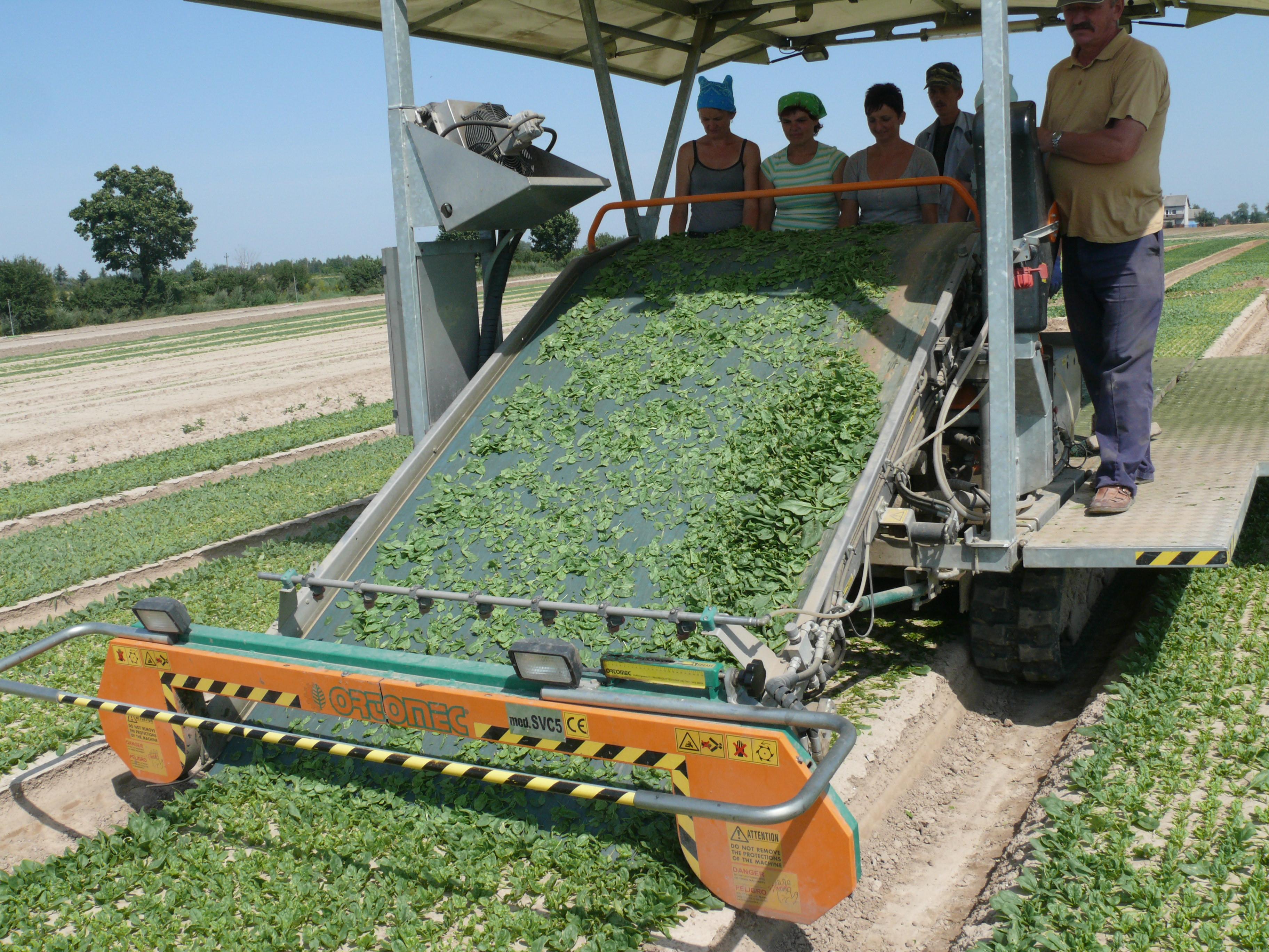 Sprawnie i skutecznie zbiera warzywa liściowe