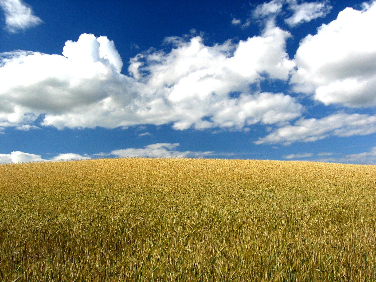 Co dokucza tegorocznym uprawom pszenicy?