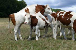 krowy 111