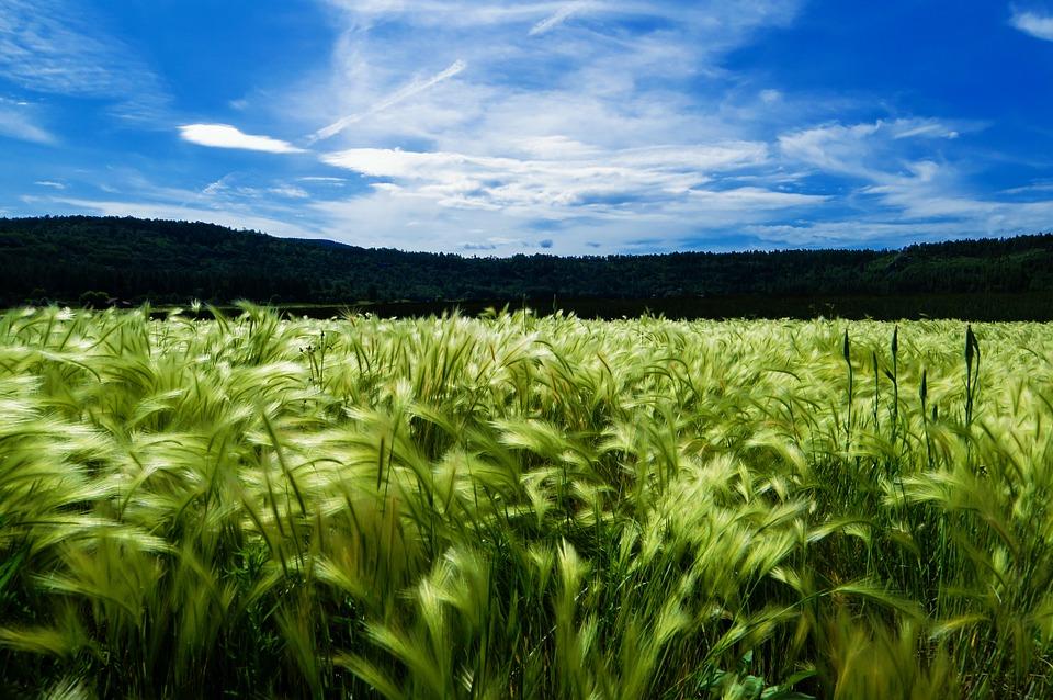Efektywność nawożenia zbóż jarych