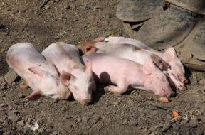 świnie 2