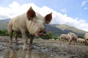 świnia 2