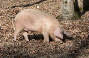 świnia las