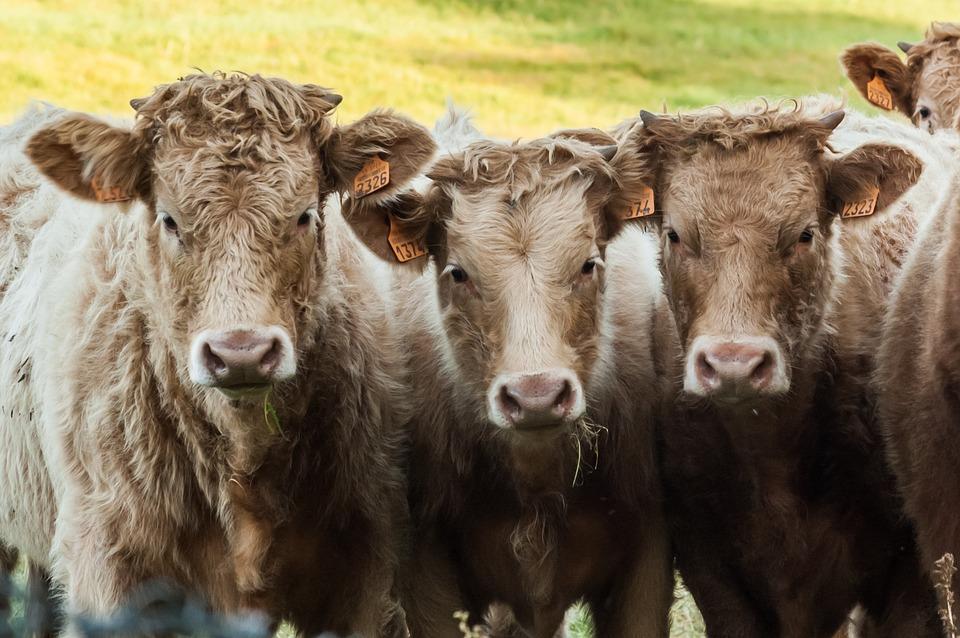 Polska wołowina 2022 – szansą dla sektora wołowiny w Polsce