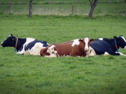 krowy potas