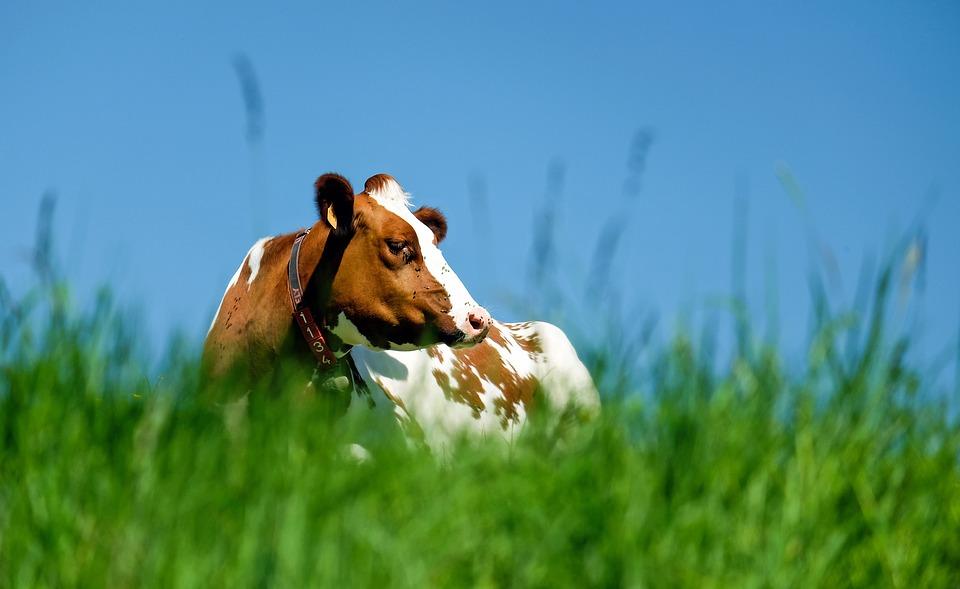 Znaczenie składników mineralnych w diecie zwierząt gospodarskich – Sód w diecie krów mlecznych