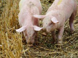 świnia 2222
