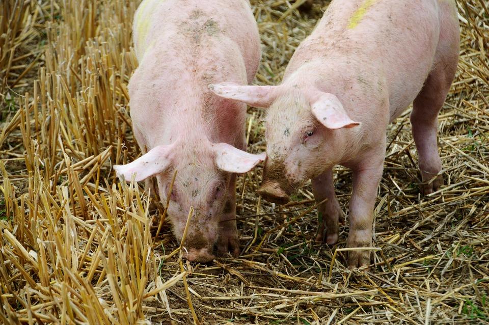 Blokada i wznowienie eksportu polskiej wieprzowiny do USA