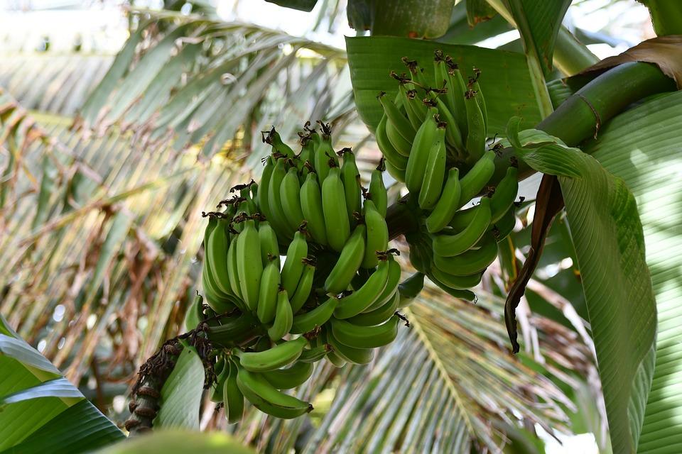 Holenderskie banany ze szklarni – pierwsze zbiory