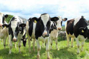 Krowy M