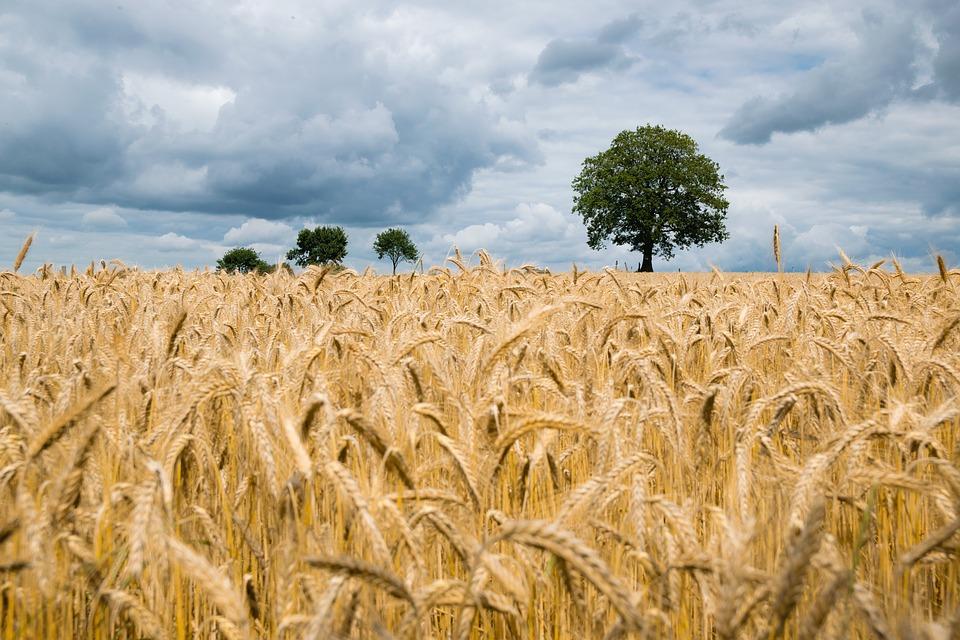 Polskie rolnictwo zwiększa potencjał eksportu zbóż