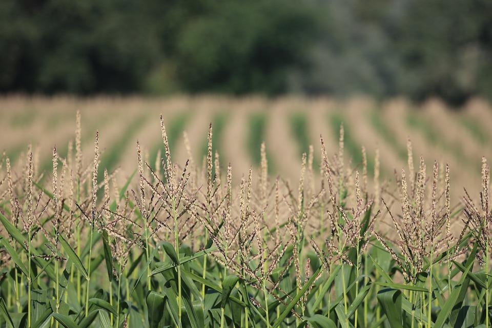 Kiszonka z kukurydzy