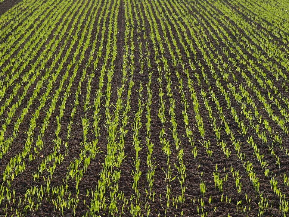 Kukurydza wolna od chwastów