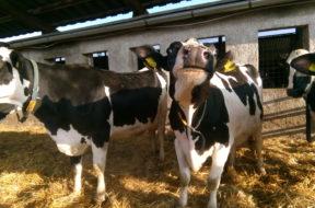krowy 1