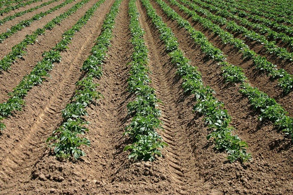 Jak zapewnić czysty start ziemniakom?
