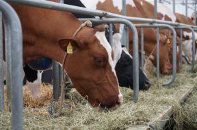 krowy jedzenie