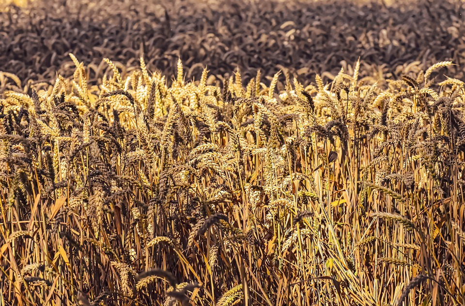 Wyleganie zbóż