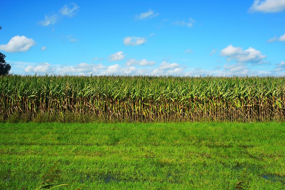 Podsumowanie sezonu uprawy kukurydzy na kiszonkę
