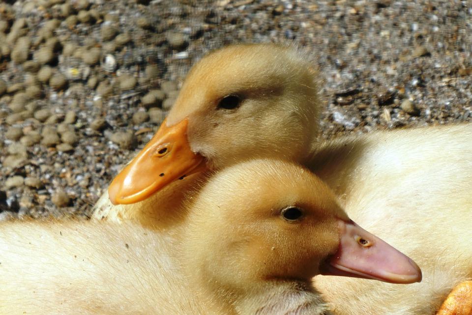 Masowa likwidacja kaczek we Francji przez HPAI