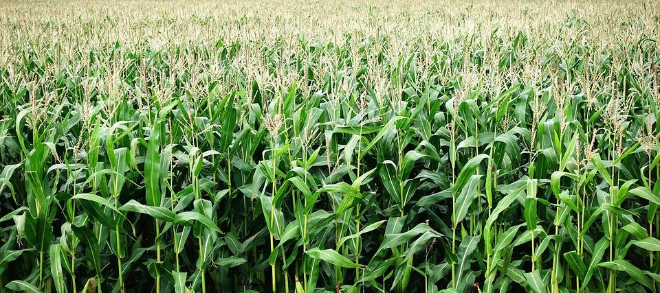 Odmiany kiszonkowe kukurydzy
