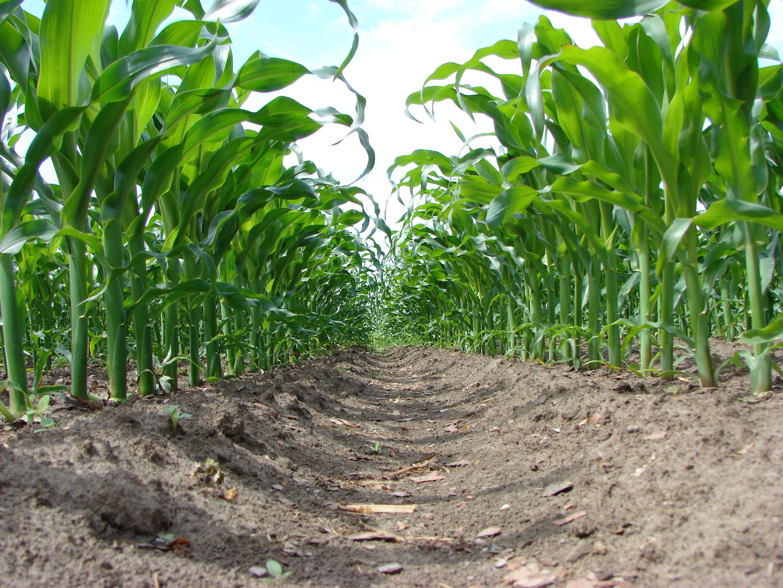 Skuteczne odchwaszczanie a wysoki plon kukurydzy