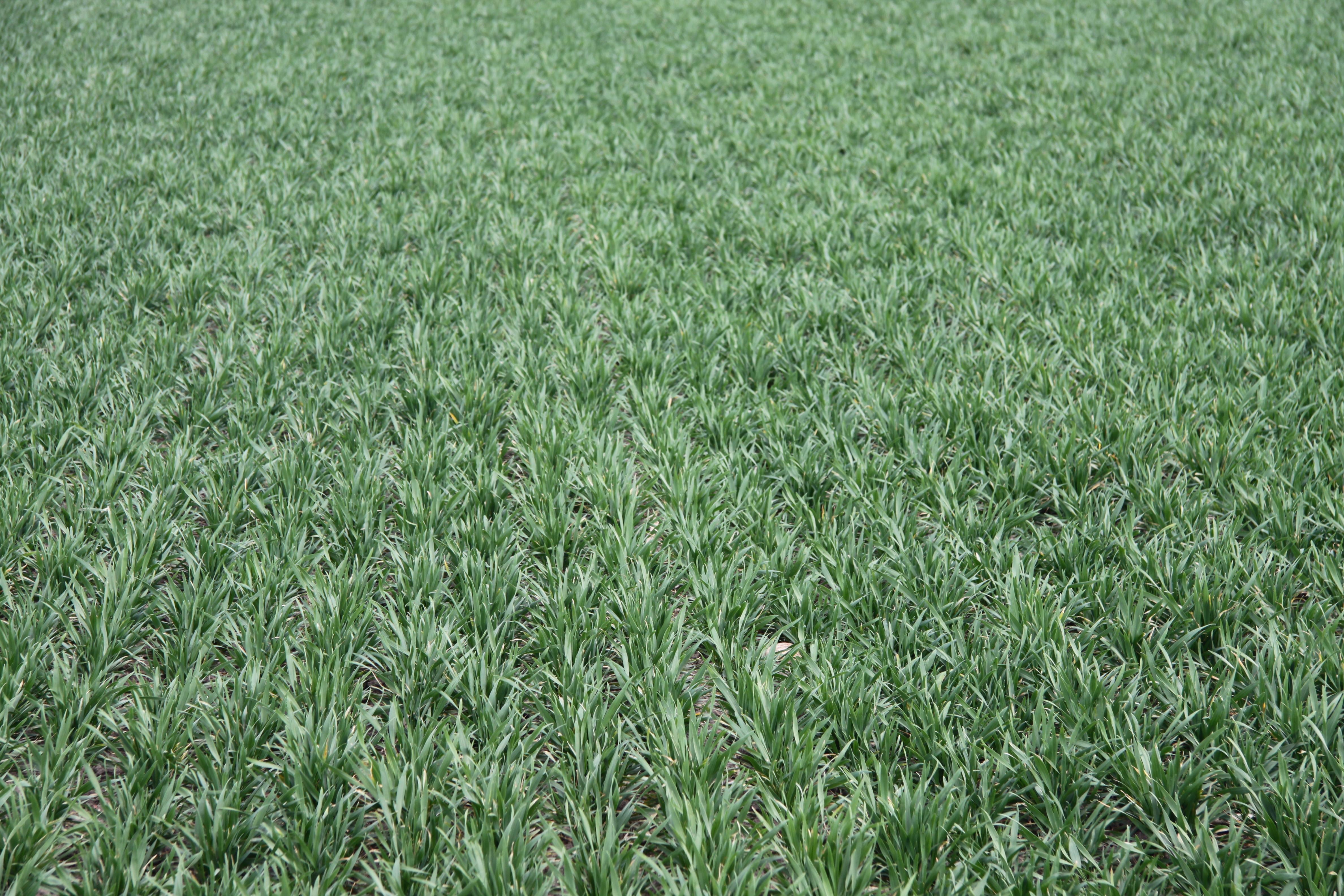 Dolistne odżywianie zbóż